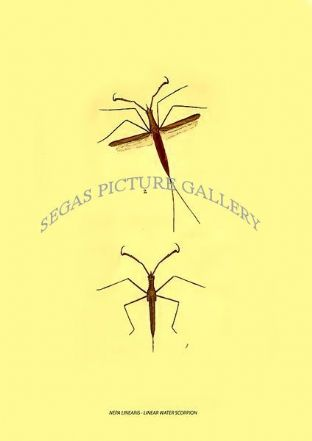 NEPA LINEARIS - LINEAR WATER SCORPION